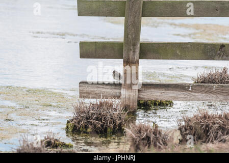Young Pied Wagtail (Motacilla alba) sitting on a wooden fence - Stock Photo