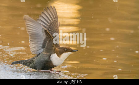 Dipper (Cinclus cinclus) from Finland in winter - Stock Photo