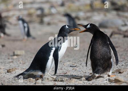 Gentoo penguins near Port Stephens - Stock Photo