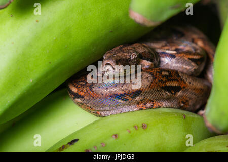 young boa constrictor resting on a bunch of green bananas I had just harvested - Stock Photo