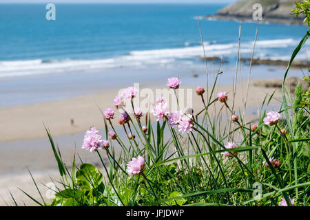 Sea Pink or Thrift (Armeria maritima) flowers growing above beach in early summer. Church Bay / Porth Swtan, Isle - Stock Photo