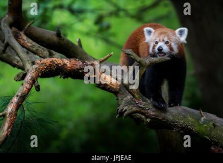 Nice red panda (Ailurus fulgens) on tree - Stock Photo