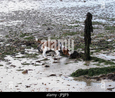 An 18 week old Welsh Springer Spaniel puppy exploring a beach wearing a harness - Stock Photo