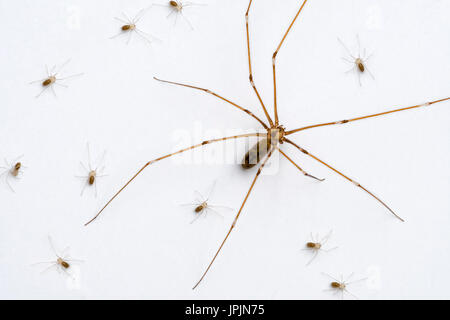 Longbodied cellar spider / skull spider (Pholcus phalangioides) female with spiderlings crawling on white wall - Stock Photo