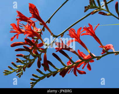 The beautiful deep orange flowers of Crocosmia 'Lucifer' a perennial plant also known as Monbretia, against a background - Stock Photo