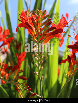 The beautiful deep orange flowers of Crocosmia 'Lucifer' a perennial plant also known as Monbretia. - Stock Photo