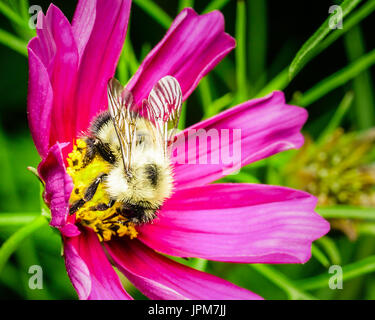 A yellow furry honey bee collecting nectar from the yellow bud of a purple flower in my backyard garden.   The bee - Stock Photo