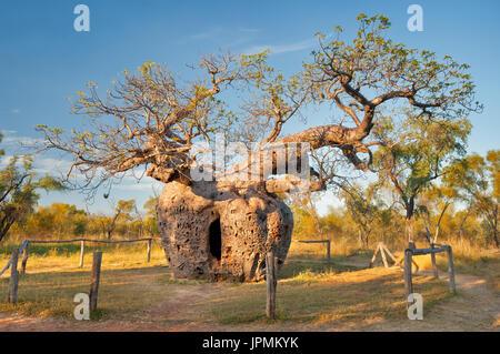 Historical Boab Prison Tree in Derby. - Stock Photo
