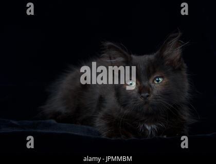 Portrait of a Black and chocolate brown long haired tabby kitten laying on black velvet blanket looking slightly - Stock Photo