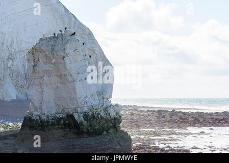 Cormorants posing on a chalk stack adjacent to Splash Point in Seaford, East Sussex, against a bright early morning - Stock Photo