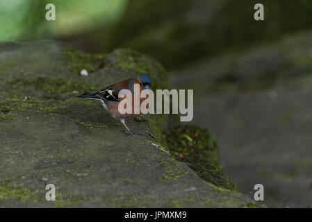 A male chaffinch (Fringilla coelebs) perched on a rock - Stock Photo