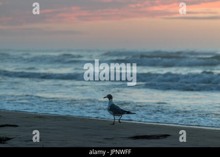 Close up View of Seagull Walking on Beach With Pink Clouds in the Background - Stock Photo