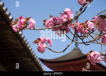 Close up of pink cherry blossoms in the foreground with the Goju-no-to Pagoda in the background. - Stock Photo