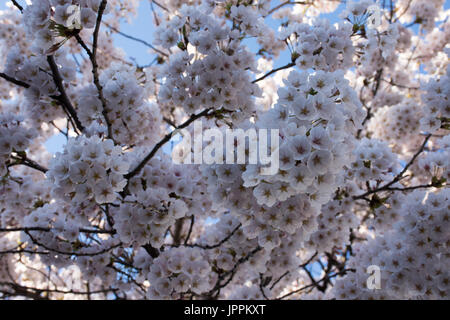 Close up of pale pink cherry blossoms on a tree in Japan. Photographed from below. - Stock Photo