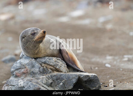 New Zealand Fur Seal (Arctocephalus forsteri) or Southern Fur seals  or Kekeno in New Zealand - Stock Photo