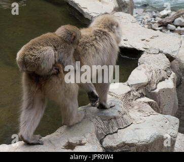 Close up of a baby snow monkey riding on its Japanese macaque mother's back at the edge of a hot spring. - Stock Photo
