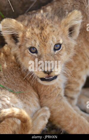 Lion cubs in the Serengeti National Park - Stock Photo