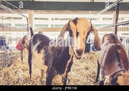Lop-earred goat standing in pen at the country fair in vintage garden setting - Stock Photo