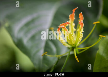 Macro photography of Gloriosa Lily flowers. Showy flowers of the commonly known Flame Lily (Gloriosa superba or - Stock Photo