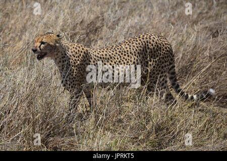 Cheetah roaming the savanna in the Serengeti National Park of Tanzania, Africa. - Stock Photo