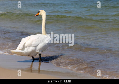 White Swan stopped at a beach by the sea and looked around. It is seen on the Baltic Sea shore in Kolobrzeg in Poland - Stock Photo