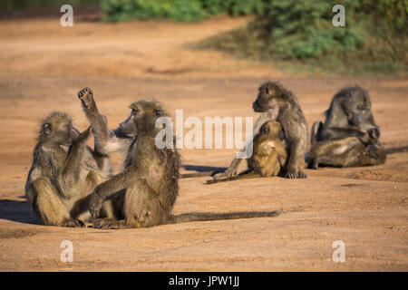 Chacma baboons (Papio ursinus), Kruger national park, South Africa, May 2017 - Stock Photo