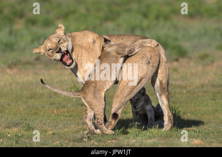 Lioness (Panthera leo) with cub, Kgalagadi transfrontier park, Northern Cape, South Africa, February 2017 - Stock Photo