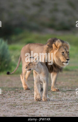 Young lion (Panthera leo) with adult, Kgalagadi transfrontier park, Northern Cape, South Africa, February 2017 - Stock Photo