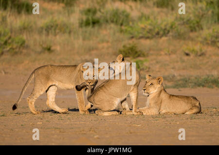 Young lions (Panthera leo) playing, Kgalagadi transfrontier park, Northern Cape, South Africa, February 2017 - Stock Photo