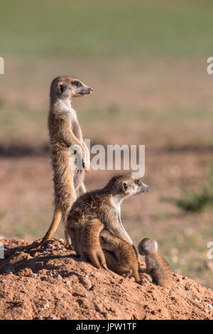 Meerkat (Suricata suricatta) suckling young, Kgalagadi Transfrontier Park, Northern Cape, South Africa, January - Stock Photo