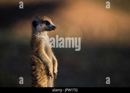 Meerkat (Suricata suricatta), Kgalagadi Transfrontier Park, Northern Cape, South Africa, January 2017 - Stock Photo