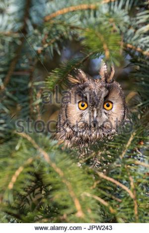 Long-eared owl (Asio otus), captive, UK, 23 March 2017 - Stock Photo