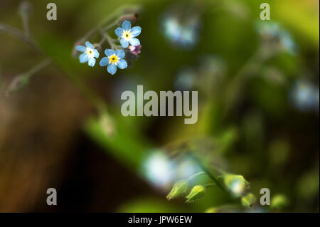 Plants of The Tyne Valley - Wild or Field forget me not / Myosotis - Stock Photo
