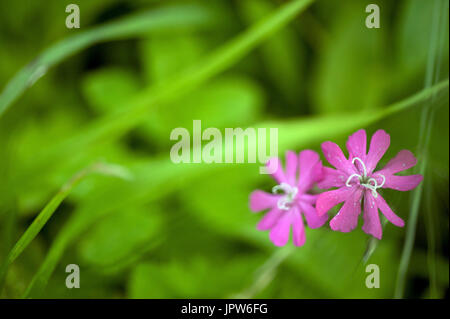 Plants of The Tyne Valley - Red Campion / Silene dioica - Stock Photo