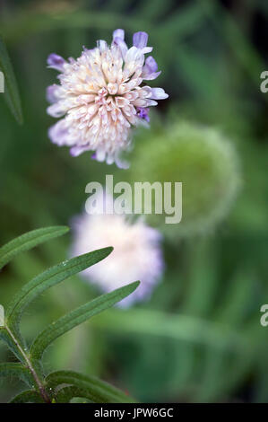 Plants of The Tyne Valley - pincushion / Field Scabious / Scabiosa - Stock Photo