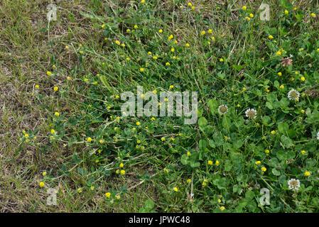 Yellow flowering lesser trefoil, Trifolium dubium, spreading plant with white clover in grass lawn turf, Berkshire, - Stock Photo