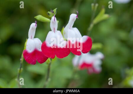 Sage 'Hot Lips' in bloom in a garden - Stock Photo