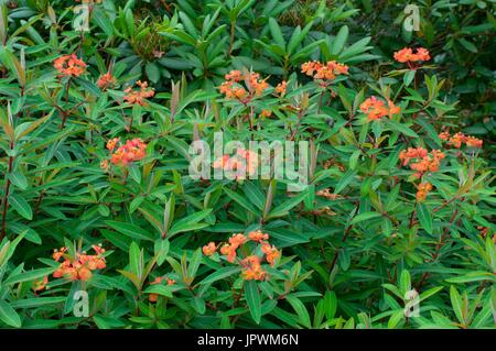 Spurges in bloom in a garden - Stock Photo