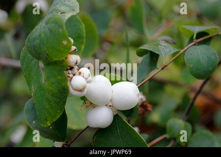 Fruits of Snowberry (Symphoricarpos albus) in autumn in the park of Buttes Chaumont in Paris 19th, France - Stock Photo
