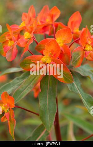 Spurge 'Fireglow' in bloom in a garden - Stock Photo