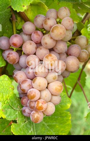 Grapes 'Gewurztraminer' - Obernai. Bas-Rhin, Alsace. France - Stock Photo