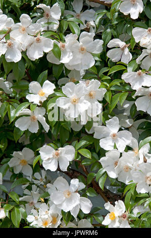 Rose-tree 'Wedding Day' in bloom in a garden - Stock Photo