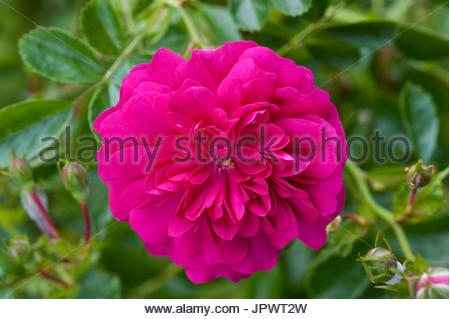 'Red Dorothy Perkins' Rose - Stock Photo