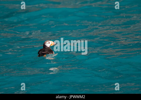 Horned puffin  on water - Kenai Fjords Alaska - Stock Photo