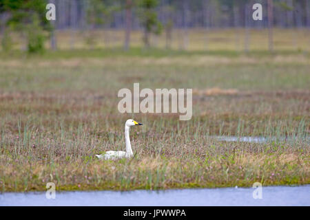 Whooper Swan male lying on the bank - Finland - Stock Photo