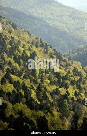 Pine-beech forest in spring - Vosges France - Stock Photo