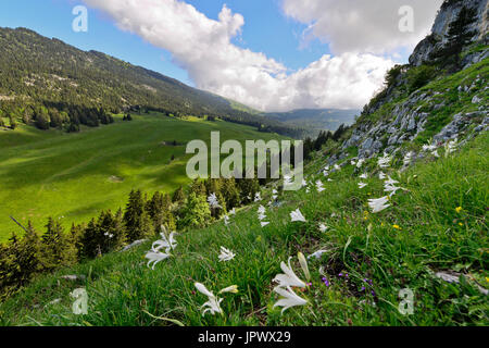 St. Bruno's lily in bloom - France Chartreuse Alps - Stock Photo