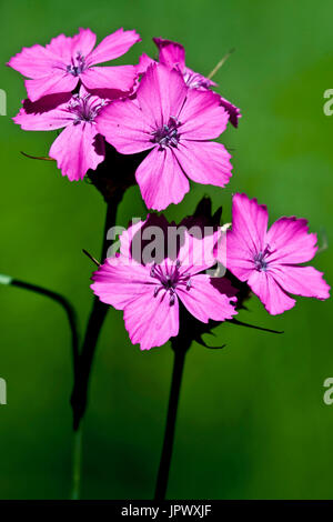 Carthusian pinks in bloom in Catalonia  Spain - Stock Photo