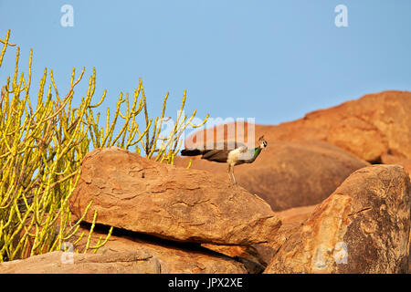 Indian Peafowl on rock - Sandur Mountain Range India - Stock Photo
