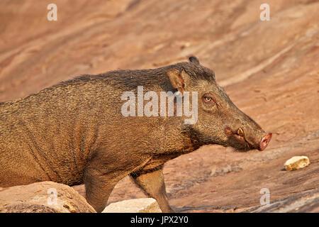 Portrait of Indian Wild Boar - Sandur Mountain Range India - Stock Photo